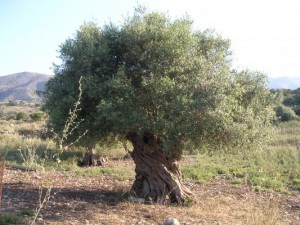 olijfboom-86647